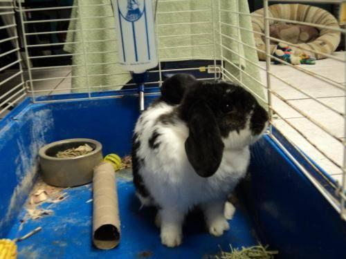 Lop Eared - Rascal - Large - Adult - Male - Rabbit