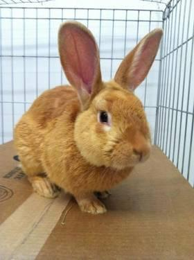 Lop Eared - Velvet - Medium - Adult - Male - Rabbit