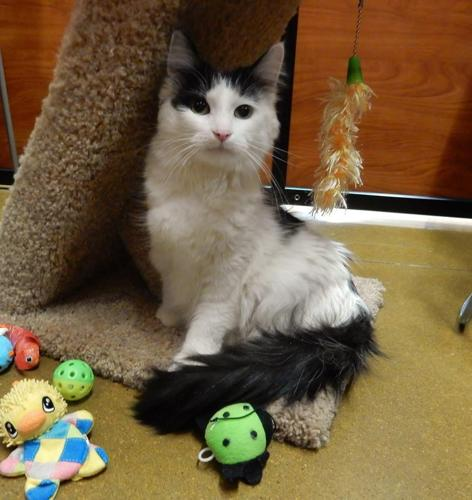 Lorelei Domestic Medium Hair Adult - Adoption, Rescue