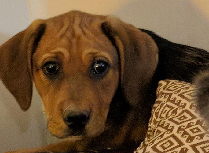 Lorrie Bloodhound Baby Adoption Rescue