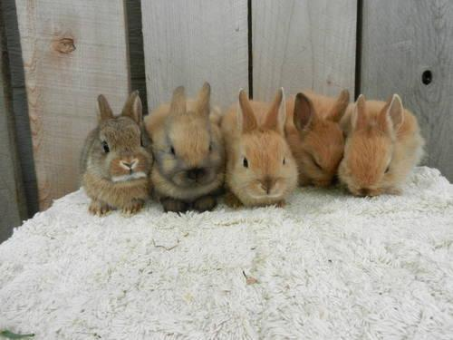 Lots of Netherland Dwarf Bunnies