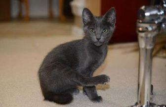 Louie Armstrong Domestic Shorthair Kitten Male