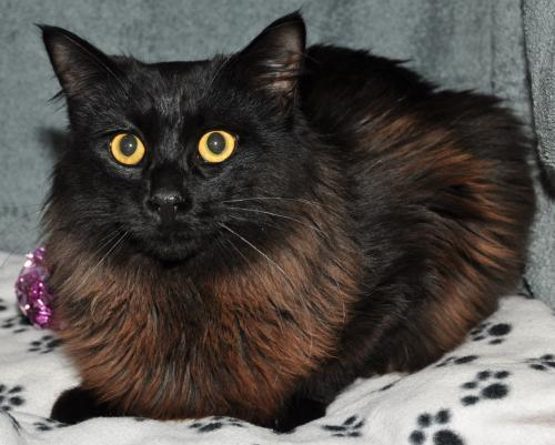 Louie Maine Coon Young - Adoption, Rescue