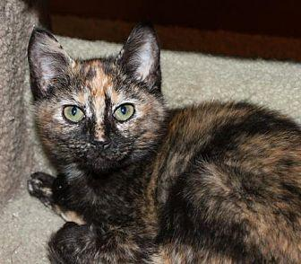 Louisa Domestic Shorthair Kitten Female