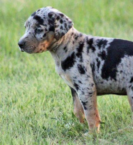 Catahoula Puppies For In Louisiana