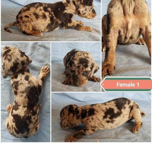 Louisiana Catahoula Leopard Dog Puppy For Sale Adoption Rescue