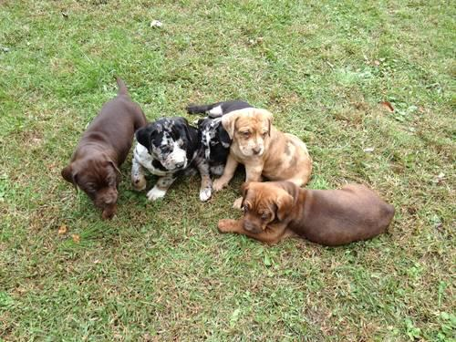 Louisiana catahoula leopard dog puppies for sale in slippery rock
