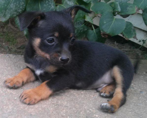 Lovable Black & Brown Male Pomchi Puppy, Roddy - 8 Weeks ...