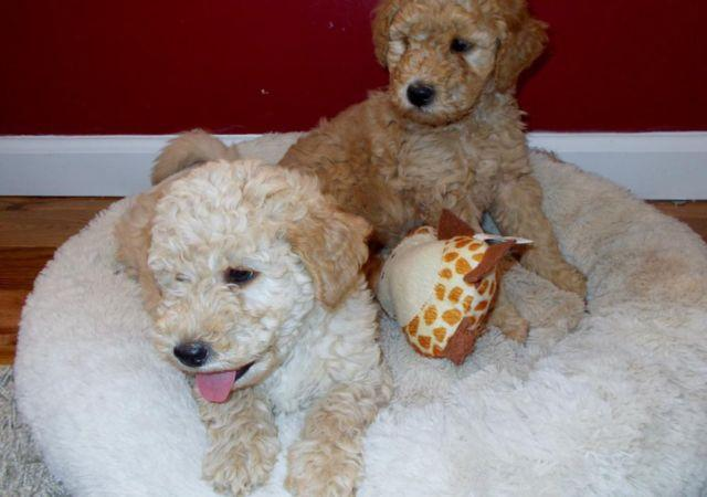 Lovable Teddy Bear Design Mini Goldendoodle Puppies For Sale In Linden Virginia Classified