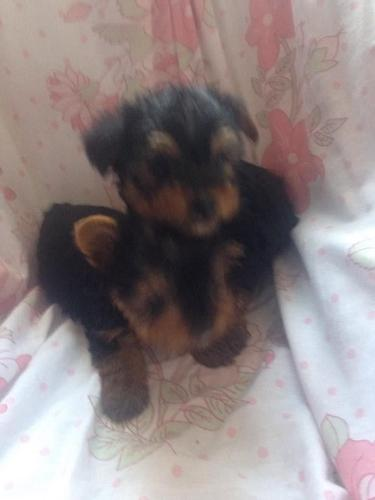 lovable yorkie puppies for sale