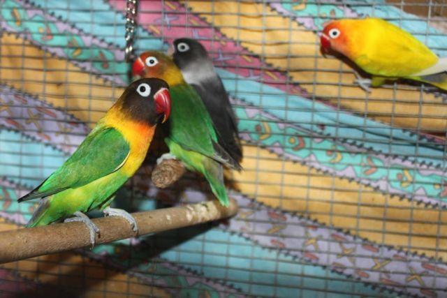 towns lovebirds by glassesgator - photo #3