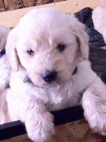 Lovely and Loving Goldendoodle pups!