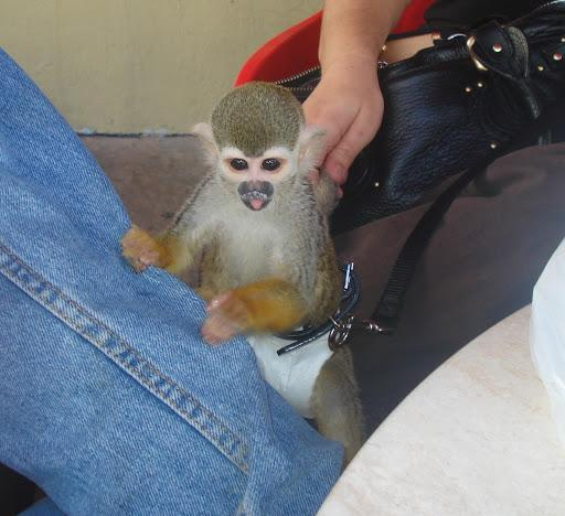 lovely baby Squirrel monkeys ready for new loving homes