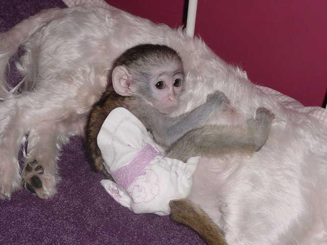 Lovely hand raised baby Capuchin Monkeys available