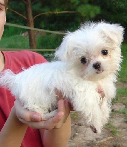 Lovely male and female Teacup Maltese puppies for adoption for sale in ...