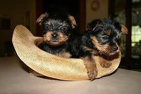 Lovely Male And Female Teacup Yorkie Puppies For Sale In Bellview