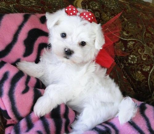 Lovely Males And Females Teacup Maltese Puppies