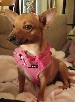 Lovely Molly.... Chihuahua Young Female