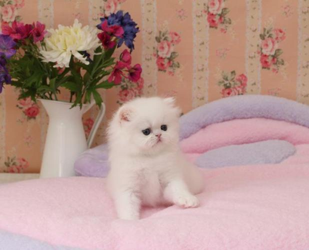 Lovely Persian Kittens for sale for Sale in Lake Charles, Louisiana ...