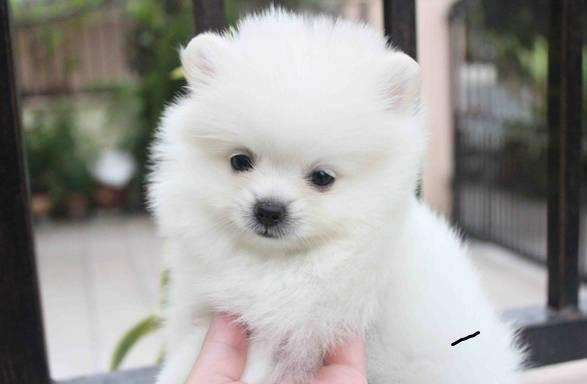 Lovely Pomeranian Puppies For Sale Ready To Go Now For Sale In