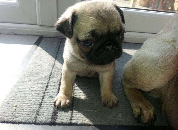 pug puppy adoption lovely pug puppies for adoption for sale in murrysville 5363