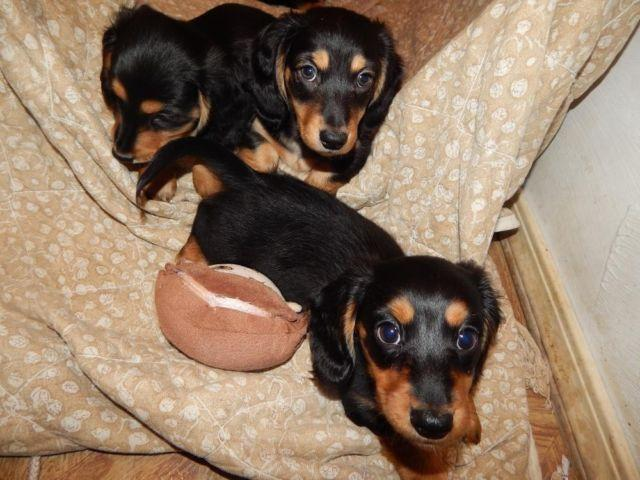 LOVELY TRADITIONAL BLACK AND TAN MINI DACHSHUNDS, MEET