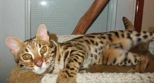 F1 bengal cat for sale uk
