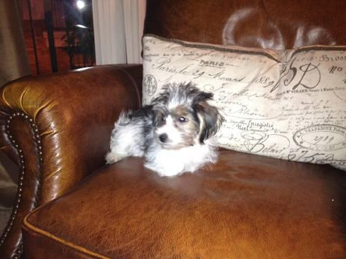Loving Akc Yorkshire Terrier Maltese Mix For Sale Six Months Old