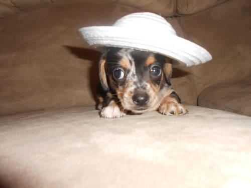 and Tilly, chiweenie puppies for sale in nc