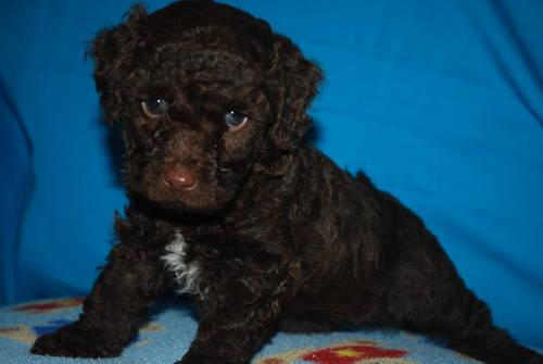Loving Chocolate Toy Poodle