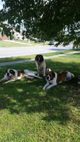 Loving Cute And Playful St Bernard Puppies Obo For Sale In Columbus Ohio Classified
