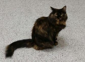 Lucy Domestic Longhair Adult Female