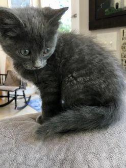Lucy Domestic Mediumhair Kitten Female