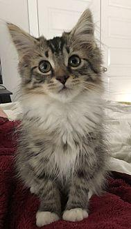 Lulu Maine Coon Kitten Female For Sale In Nashville Tennessee Classified Americanlisted Com