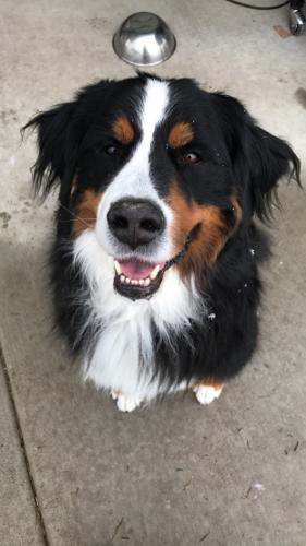 Luna Bernese Mountain Dog Adult Adoption Rescue For Sale