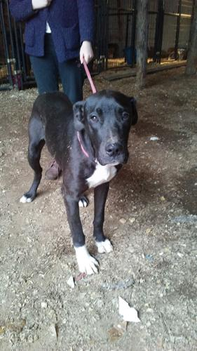 Luna Great Dane Young Adoption Rescue Great Dane Adoption In Manchester Ct 4855033615