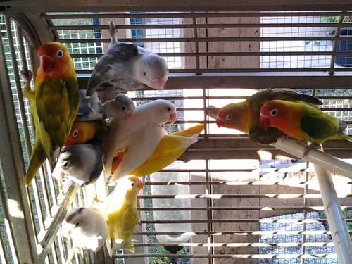 Lutino, Albino, heavy pied, and other Love Birds