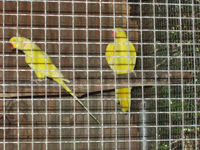Lutino Indian Ringneck pair mature