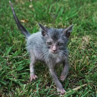 Lykoi Cat Kitten - werewolf cat