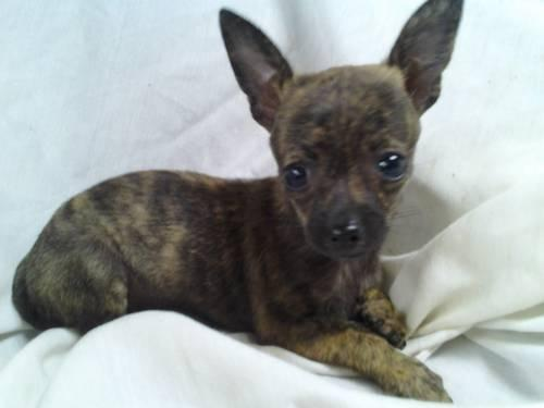 brindle chihuahua for sale m f brindle beauties great kids pet healthy 8414
