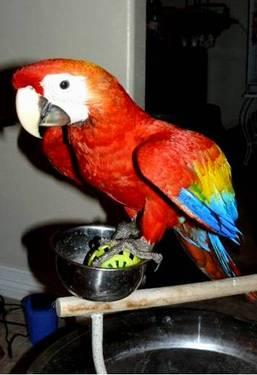 Macaws Scarlet and Blue and Gold