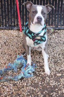 Mace American Pit Bull Terrier Adult Male
