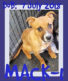 MACK-1 Boxer Young Male