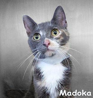 Madoka Domestic Shorthair Adult Female