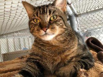 Mae Domestic Shorthair Adult Female