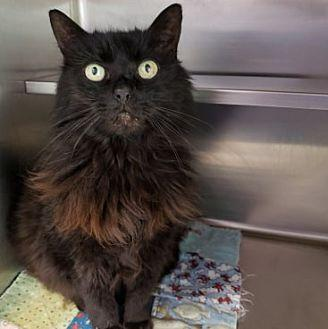 Mae Mae Domestic Longhair Adult Female