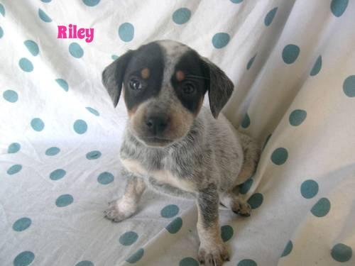 blue heeler mix puppies Pets and Animals for sale in Ohio - Puppy and kitten classifieds - buy and sell kittens and puppies- AmericanListed