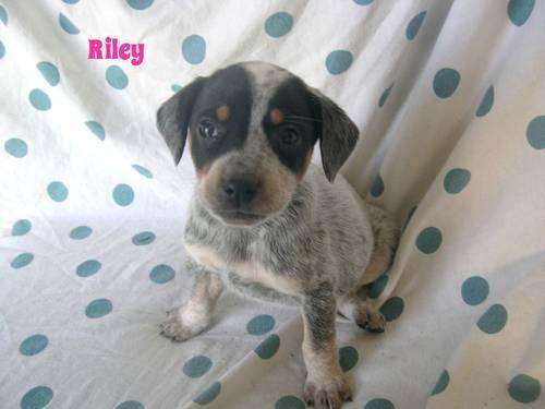 Blue Heeler Mix Puppy Blue Heeler mix puppy for