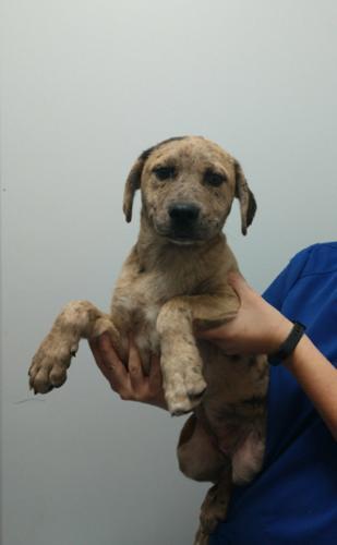 Maggie Catahoula Leopard Dog Baby Adoption Rescue