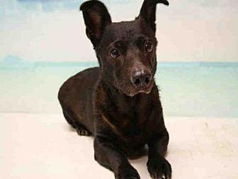 Maggie Dachshund Adult Female